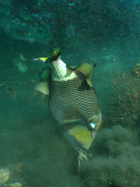 Giant Trigger Fish