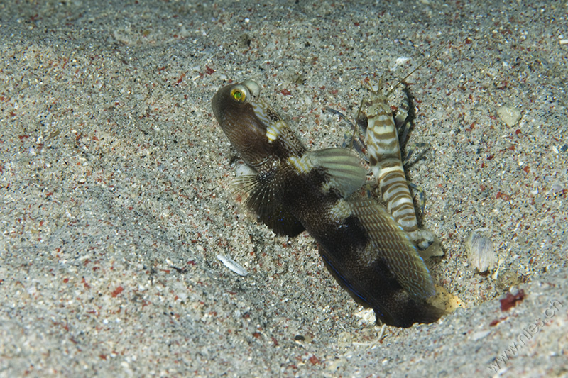 Goby with Pistol Shrimp