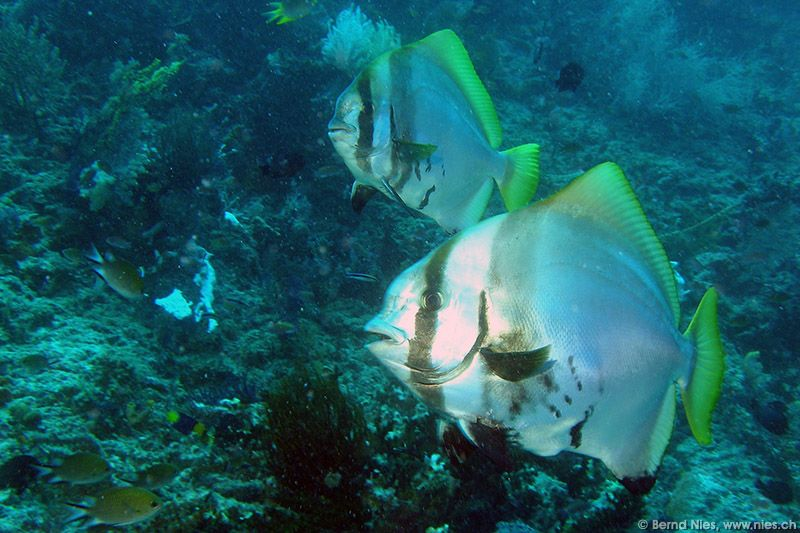 Bumphead bat fish