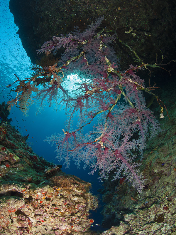 Softcoral under Rock
