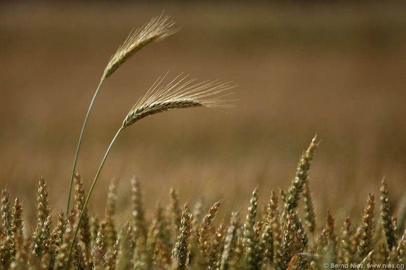 Barley Ears in Wheat Field
