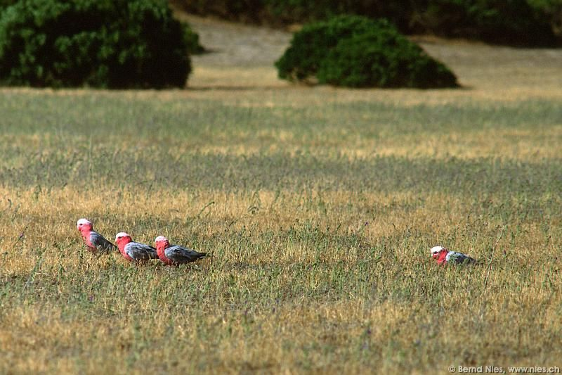 Parrots on Meadow