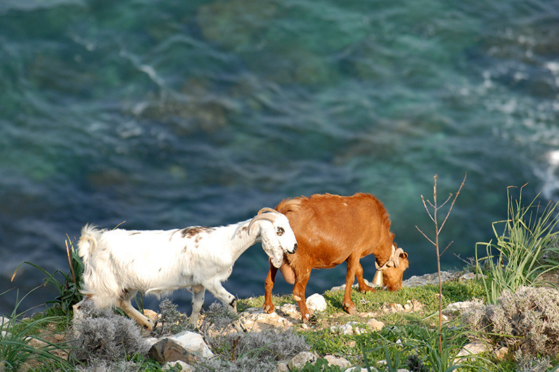 Goats at the Cliff