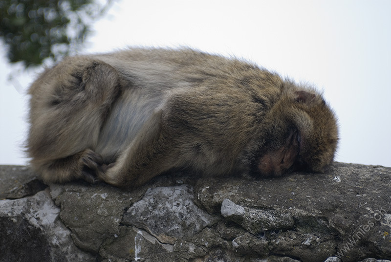 Tired Monkey