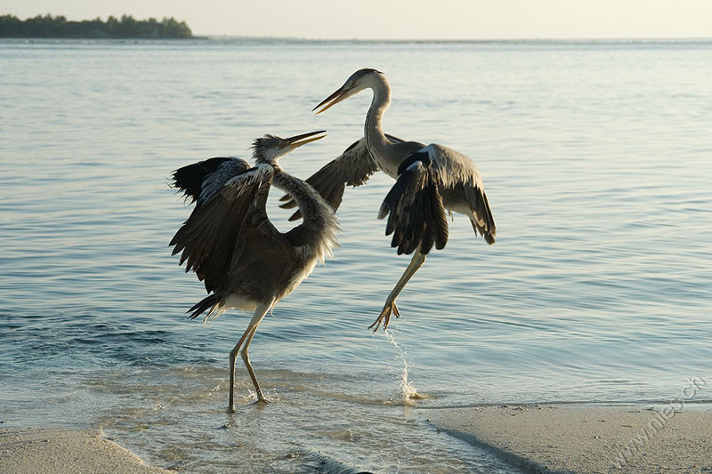 Fighting Herons