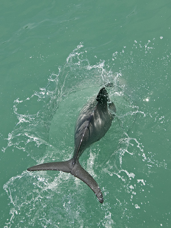 Hector Dolphin