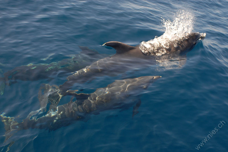 Three Bottlenose Dolphins