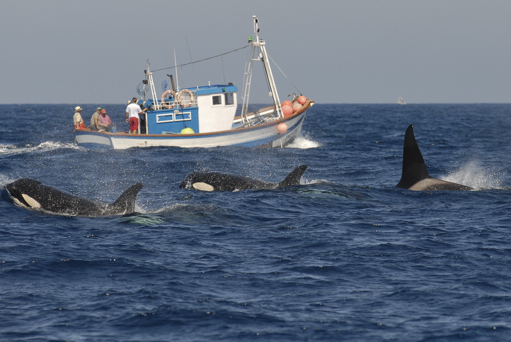 Orcas with Fishing Boat