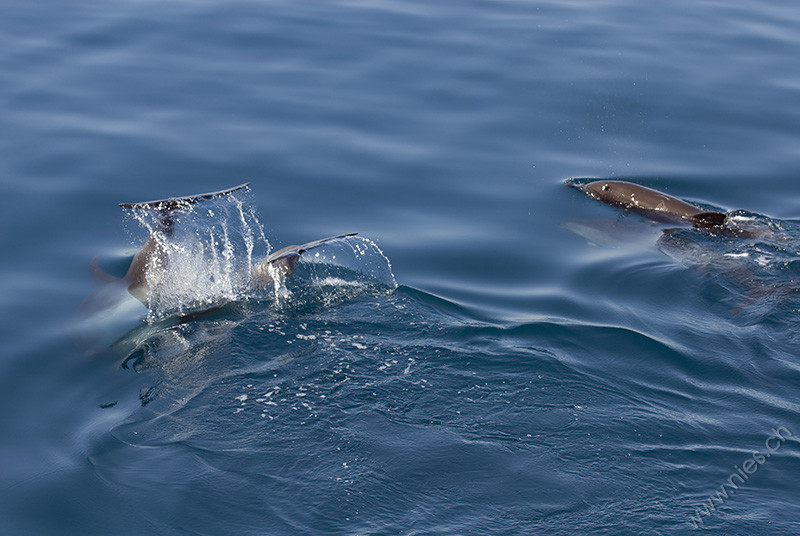 Tailflapping Bottlenose Dolphins