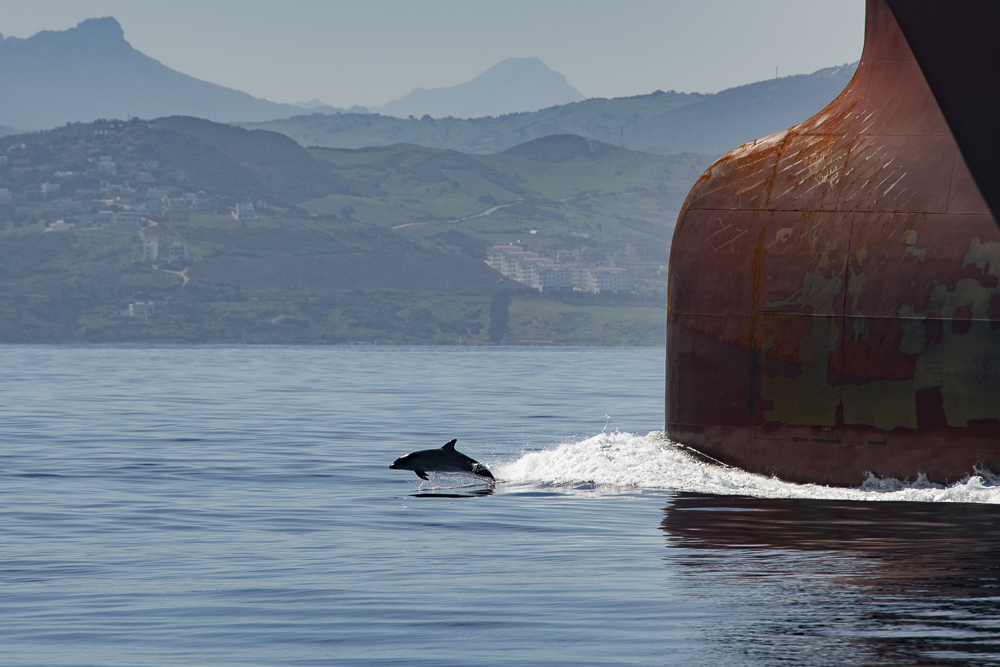 Dolphin on bow wave