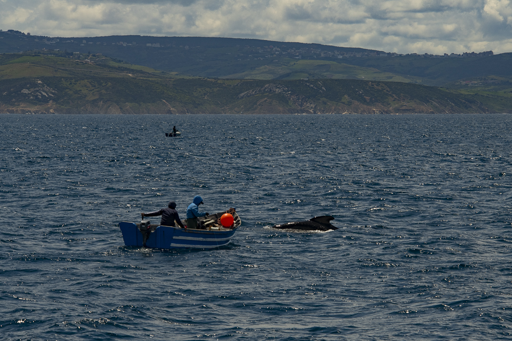 Moroccan fishermen with pilot whale