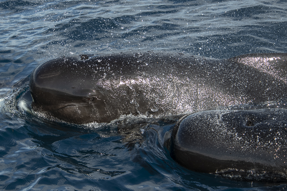 Two pilot whales with water drops