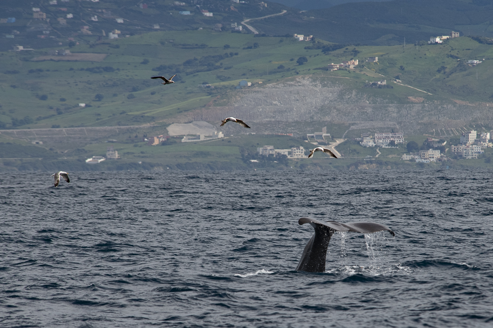 Diving sperm whale with seagulls