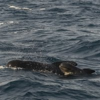 Pilot Whale Mother with Calf