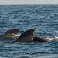 Young Pilot Whale