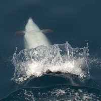 Tailflapping Bottlenose Dolphin