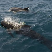 Pilot Whale with Bottlenose Dolphin