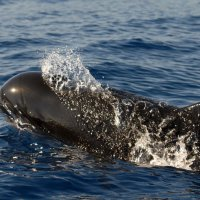 Puffing Pilot Whale
