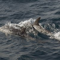Two Striped Dolphins