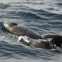 Pilot Whale with Newborn