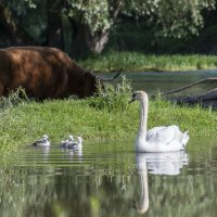 Swan with Chicks and Highland Cow
