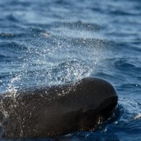 Pilot Whale with Waterdrops