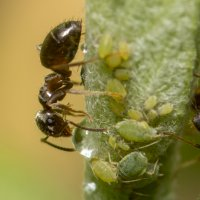 Ant with Lice