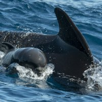 Pilot whale mother with young