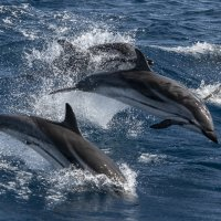 Group of jumping striped dolphins