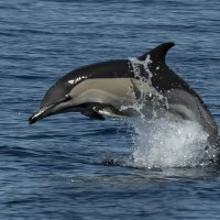 Jumping common dolphin