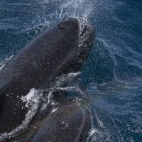 Two pilot whales with rainbow