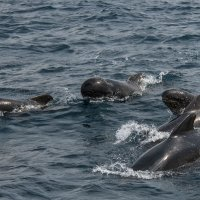Group of pilot whales with young