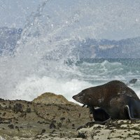 Seal with Surf