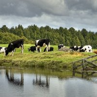 Cows on a Pond