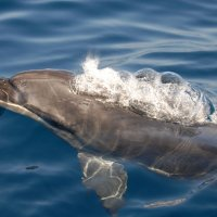 Bottlenose Dolphin with Bubbles