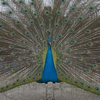 Image 35/194: Peacock