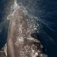 Bottlenose Dolphin with Rainbow