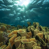 Yellow Scroll Coral with Sun