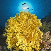 Yellow Softcoral