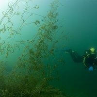 Diver in water plants 1