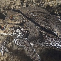 Spawning toads © Bernd Nies