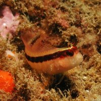 Longstriped Blenny