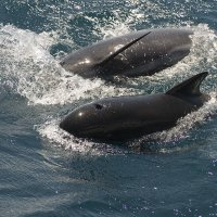 Two Pilot Whales