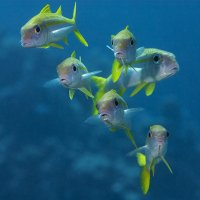 Yellow Goatfish © Bernd Nies
