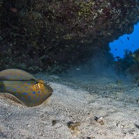Bluespotted Stingray © Bernd Nies