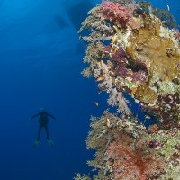 Corals with Diver