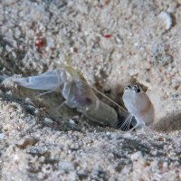 Goby with Shrimp