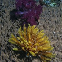 Softcoral and Feather Seastar © Bernd Nies