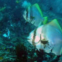 Bumphead bat fish © Bernd Nies