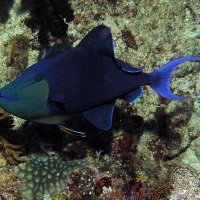 Red toot trigger fish